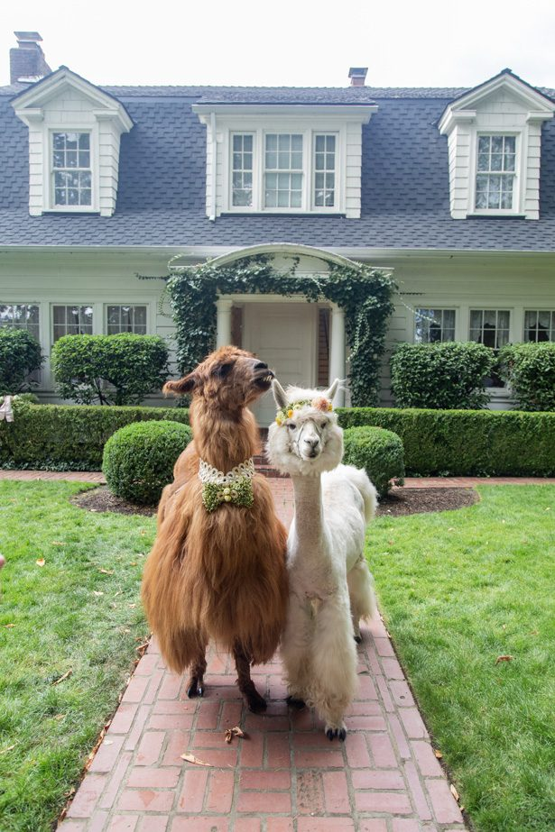 Wedding Llamas - Photography: Szu Designs, Inc